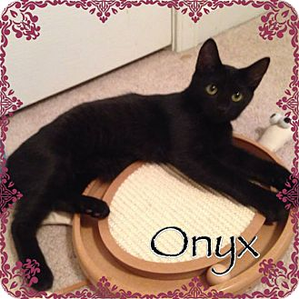 Domestic Shorthair Kitten for adoption in Newnan, Georgia - Onyx