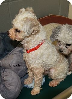 Papillon/Poodle (Toy or Tea Cup) Mix Dog for adoption in Hibbing, Minnesota - Brigade