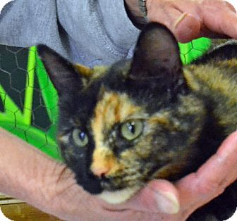 Domestic Shorthair Cat for adoption in Searcy, Arkansas - Peace