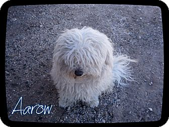 Poodle (Miniature)/Maltese Mix Dog for adoption in Estancia, New Mexico - Aarow