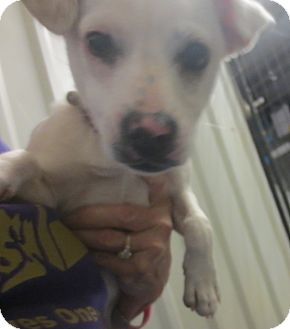 Terrier (Unknown Type, Small)/Chihuahua Mix Puppy for adoption in Lubbock, Texas - Molly