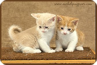 Domestic Mediumhair Kitten for adoption in Washburn, Wisconsin - Sunflower (right)