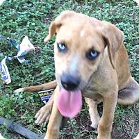 Adopt A Pet :: Blue - Austin, TX