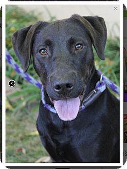 Labrador Retriever Mix Dog for adoption in Red Bluff, California - Wyatt