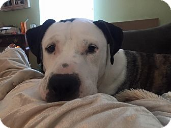American Bulldog/Hound (Unknown Type) Mix Dog for adoption in Sterling, Massachusetts - PIP~ADOPTED! :)