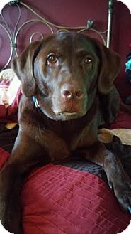 Labrador Retriever Dog for adoption in west berlin, New Jersey - Duke