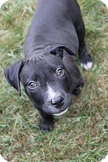 Pit Bull Terrier Puppy for adoption in Framingham, Massachusetts - Olaf