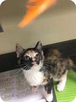 Domestic Shorthair Kitten for adoption in Columbus, Georgia - Whitney 6874