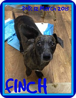 Dachshund Dog for adoption in Manchester, New Hampshire - FINCH