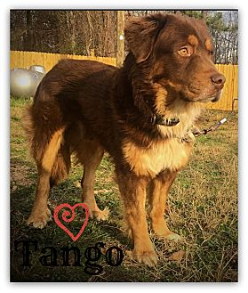 Retriever (Unknown Type) Mix Dog for adoption in Chester, Connecticut - Tango