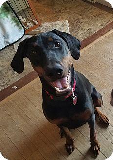 Doberman Pinscher Dog for adoption in Oxford, Pennsylvania - Ruby