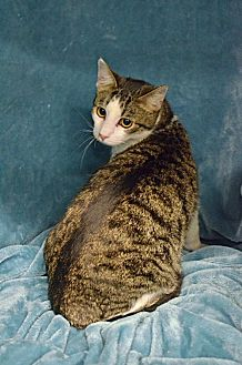 Domestic Shorthair Cat for adoption in Morgantown, West Virginia - Curly