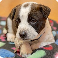Adopt A Pet :: Evee - Marietta, GA