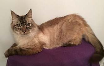 Balinese Cat for adoption in Merrifield, Virginia - Smokey