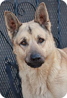 German Shepherd Dog Mix Dog for adoption in Los Angeles, California - Moses von Mittwoch