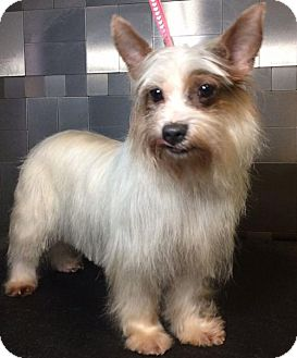 Yorkie, Yorkshire Terrier/Yorkie, Yorkshire Terrier Mix Dog for adoption in McKinney, Texas - Roxie