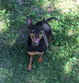 Miniature Pinscher Mix Dog for adoption in Trenton, New Jersey - Minnie and Penny