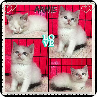 Domestic Shorthair Kitten for adoption in Jeffersonville, Indiana - Arnie