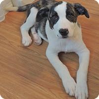 Adopt A Pet :: Rocky - Manchester, NH
