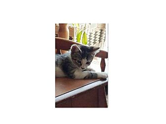 Domestic Shorthair Kitten for adoption in Northfield, Ohio - MINNIE