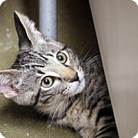 Domestic Shorthair Cat for adoption in Dallas, Texas - Waldo