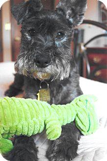 Miniature Schnauzer Dog for adoption in Sharonville, Ohio - Cooper