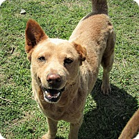 Adopt A Pet :: Chili - Fort Worth, TX