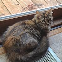 Maine Coon Cat for adoption in Fowlerville, Michigan - Bonita