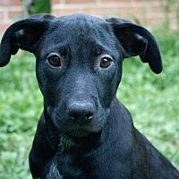 Adopt A Pet :: Sage - Bowie, MD