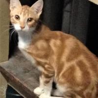 Adopt A Pet :: Gilbert - Encinitas, CA