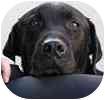 Labrador Retriever Mix Dog for adoption in Hamilton, Ontario - Duke - Adoption Pending