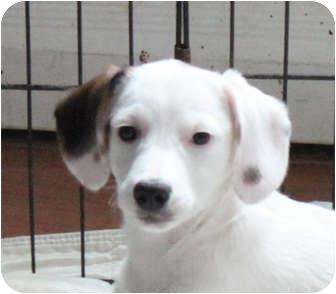 Australian Shepherd/Labrador Retriever Mix Puppy for adoption in Elgin, Illinois - SHENZI
