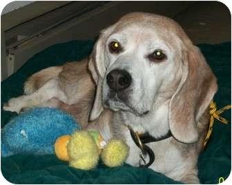 Beagle Dog for adoption in Dunkirk, New York - Duke