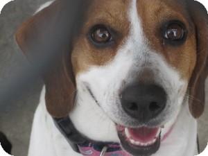 Beagle Dog for adoption in Folsom, Louisiana - Shiloh