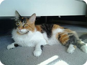 Turkish Van Cat for adoption in Sterling Heights, Michigan - Olive
