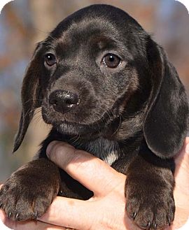 Dachshund/Beagle Mix Puppy for adoption in Plainfield, Connecticut - Meme