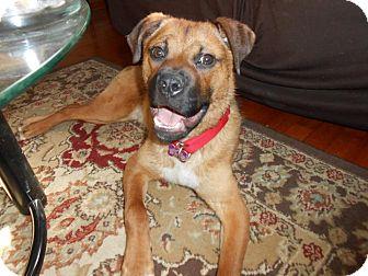 Pug/Boxer Mix Dog for adoption in Youngstown, Ohio - Reuben ~ Adoption Pending
