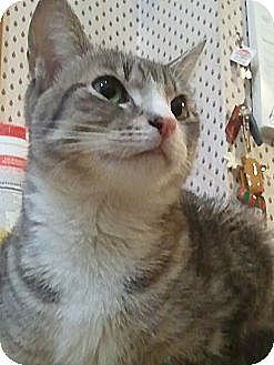 Domestic Shorthair Cat for adoption in New York, New York - Tzia
