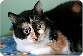 Domestic Shorthair Cat for adoption in Sterling Heights, Michigan - LaToya-ADOPTED