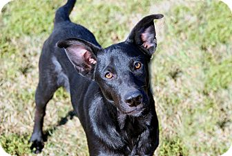 Labrador Retriever/Doberman Pinscher Mix Puppy for adoption in High Point, North Carolina - Marie