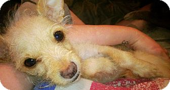 Chihuahua/Terrier (Unknown Type, Small) Mix Puppy for adoption in Clarksville, Tennessee - Selena