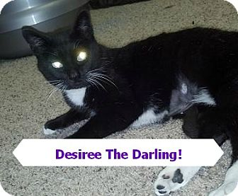 Domestic Shorthair Cat for adoption in Rochester, New York - DESIREE FIV+ abused 25.00