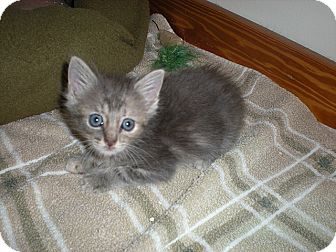 Domestic Mediumhair Kitten for adoption in Tampa, Florida - Cookie