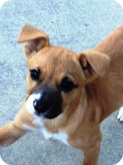 Boxer Mix Puppy for adoption in Turnersville, New Jersey - Dixie-Adopted