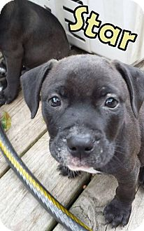 Pit Bull Terrier Mix Puppy for adoption in Groveland, Florida - Star (9 weeks)