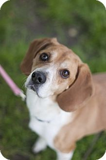 Beagle Mix Dog for adoption in Indianapolis, Indiana - Chunky