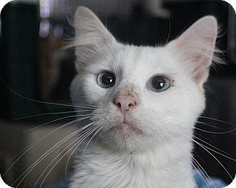 Domestic Shorthair Kitten for adoption in Colonial Heights, Virginia - Duke