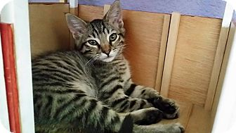 Domestic Shorthair Kitten for adoption in Oakley, California - Baby