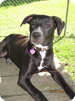 Labrador Retriever Mix Puppy for adoption in Homer, New York - Belle (or Rebel)