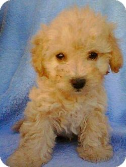 Poodle (Miniature)/Maltese Mix Puppy for adoption in Boulder, Colorado - Aaron-ADOPTION PENDING